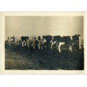 Schilling Herd of Holstein Cows, c. 1900